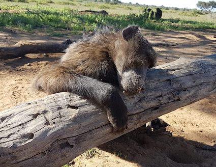 Baboon sleeping