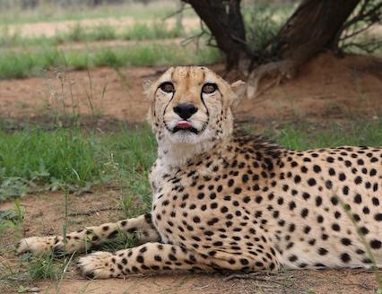 Cheetah at sanctuary