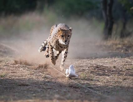 Cheetah chasing lure