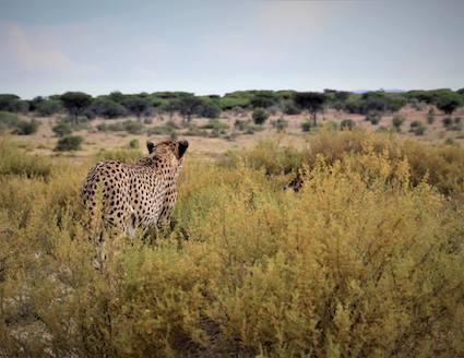 Cheetah_walk