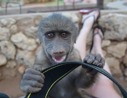 Volunteer with baby baboon