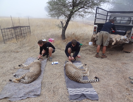 Volunteers assisting with leopard darting