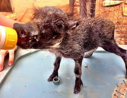 wildlife sanctuary volunteer feeding warthog